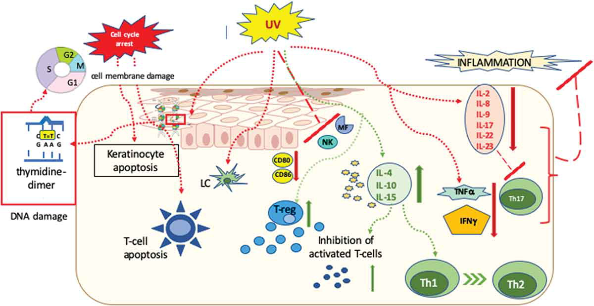 Figure 2 Mechanism of Action of Ultraviolet Radiation